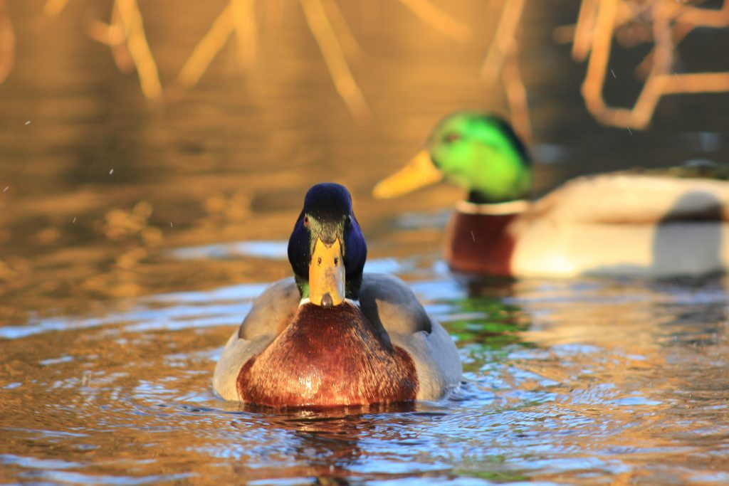 Mallards in Castle Park, by postman.peter (CC BY 2.0). Click image for details.