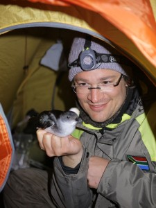 Scrutinizing a common diving petrel (Pelecanoides urinatrix) on Inaccessible Island in 2011. Photo: Martim Melo.