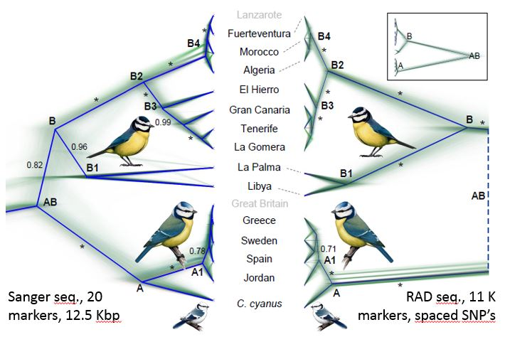 Coalescense species trees of the Cyanistes tit complex. Values along branches represent posterior probabilities (PP), and * signifies PP = 1.0. For further information, see our paper.