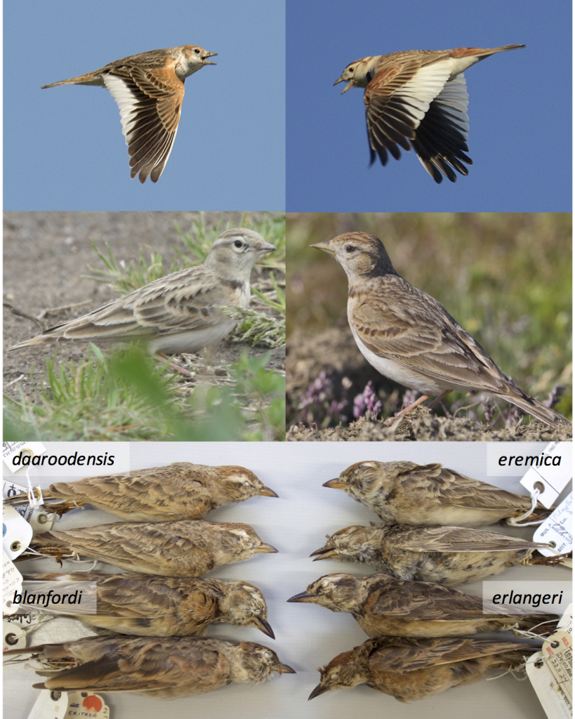 Figure 1 (from Stervander 2015). Larks (family Alaudidae) display strong adaptations in bill morphology and plumage, and recent studies have revealed both convergent evolution and cryptic taxa. Alström et al. (2013) demonstrated an extreme case of convergent evolution in the White-winged Lark Alauda leucoptera (top left) and the Mongolian Lark Melanocorypha mongolica (top right), previously thought to be congeneric. We confirmed that Calandrella [brachydactyla] dukhunensis (middle left) is a separate species from the Greater Short-toed Lark C. brachydactyla (middle right), more closely related to Hume's Short-toed Lark C. acutirostris, though it morphologically resembles the Greater Short-toed lark. We also show that C. blanfordi daaroodensis and C. b. eremica form a clade that split over four million years ago from C. b. blanfordi and C. erlangeri, which are recently split sister taxa (bottom). Photos, with permission for use in Stervander (2015): Kari Eischer (top left), David Thorns (top right), Matt Poll (middle left), Juan Lacruz (middle right), Martin Stervander with permission from the British Museum of Natural History (bottom).