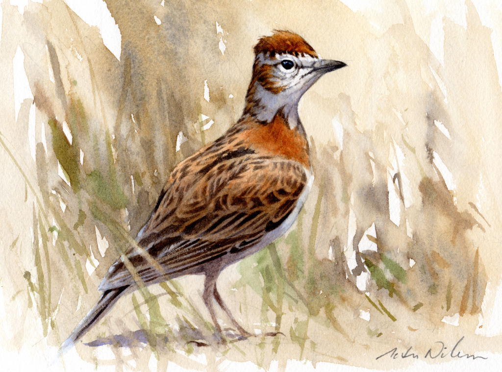 Figure 2. Watercolour of the Nigerian taxon by Peter Nilsson.
