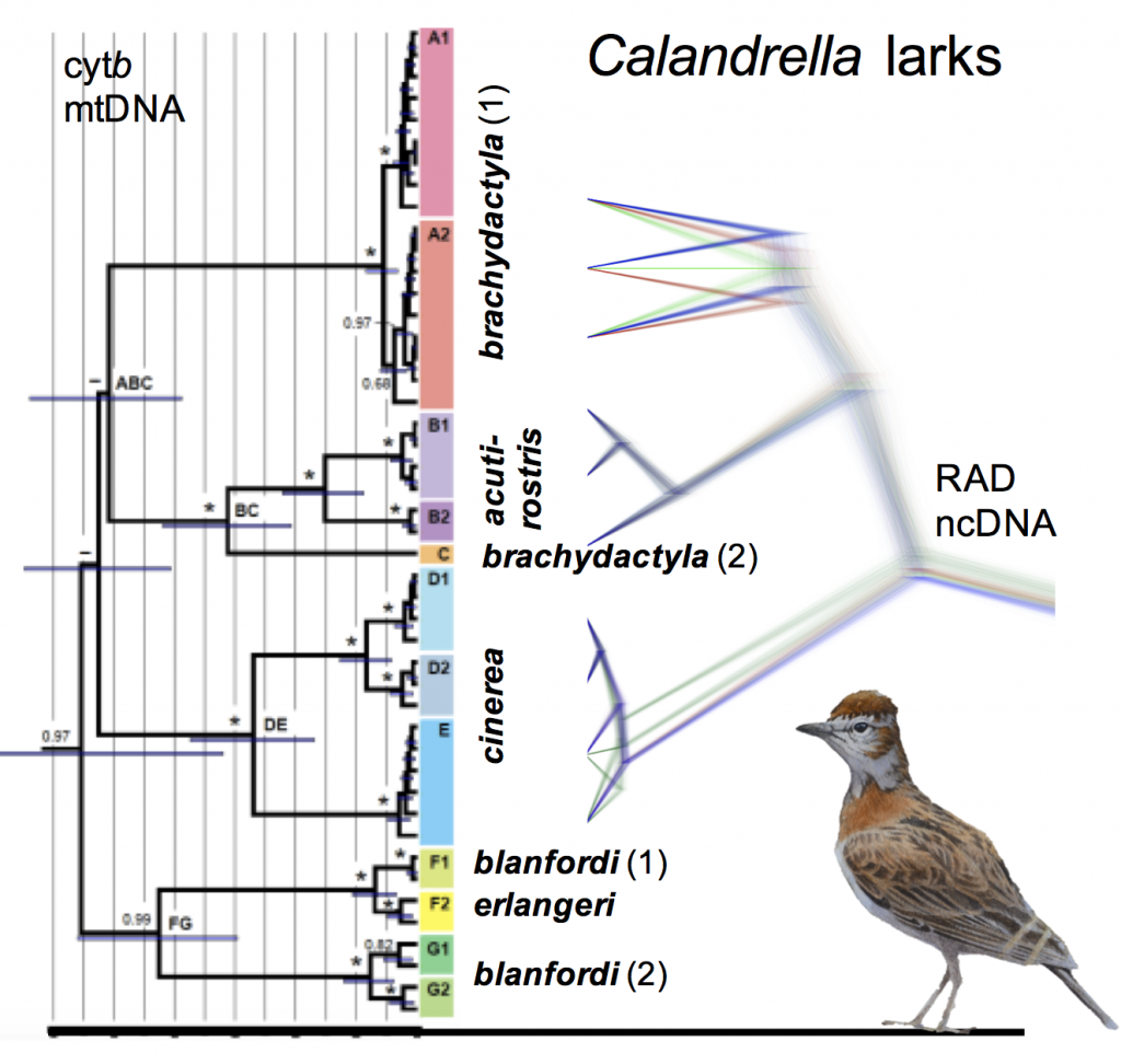 Figure 4. A condensed summary of the phylogenetic results, with the cytochrome b tree to the left, and one version of the RAD sequencing based species tree to the right. For full details, see the trees in our paper!