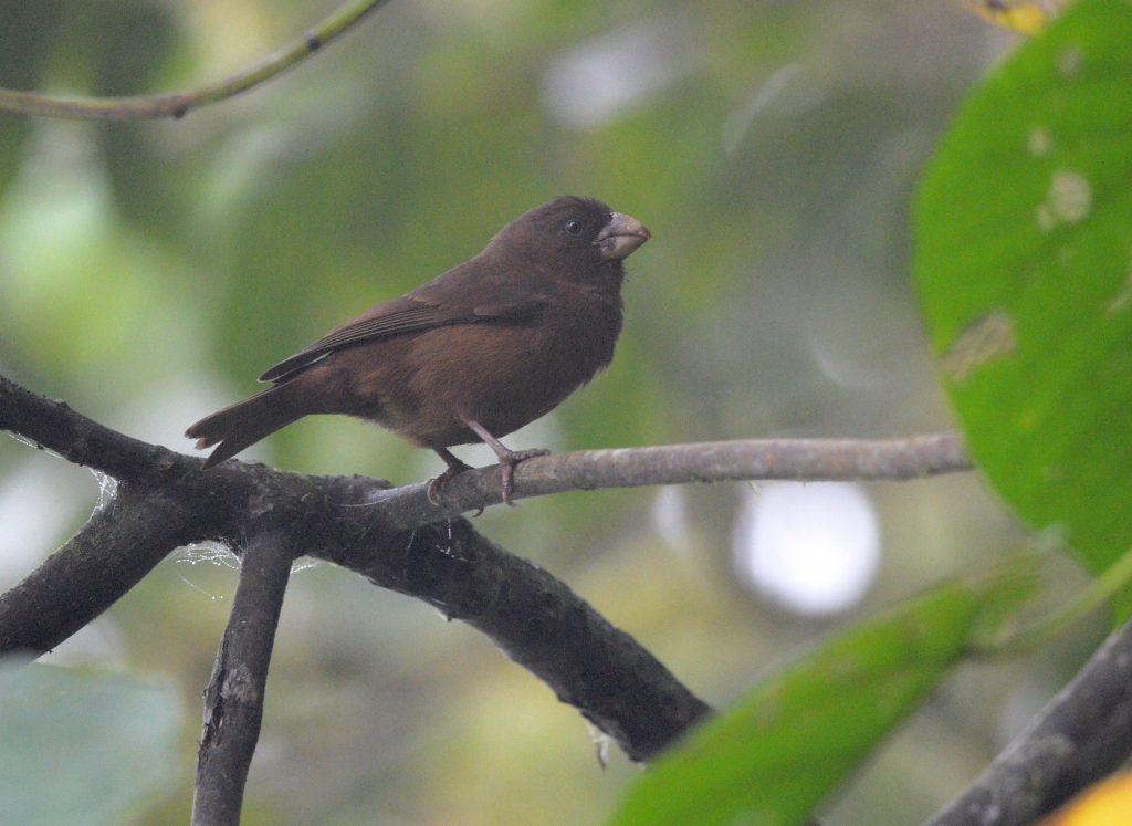 São Tomé grosbeak. Photo (c) August Thomasson.