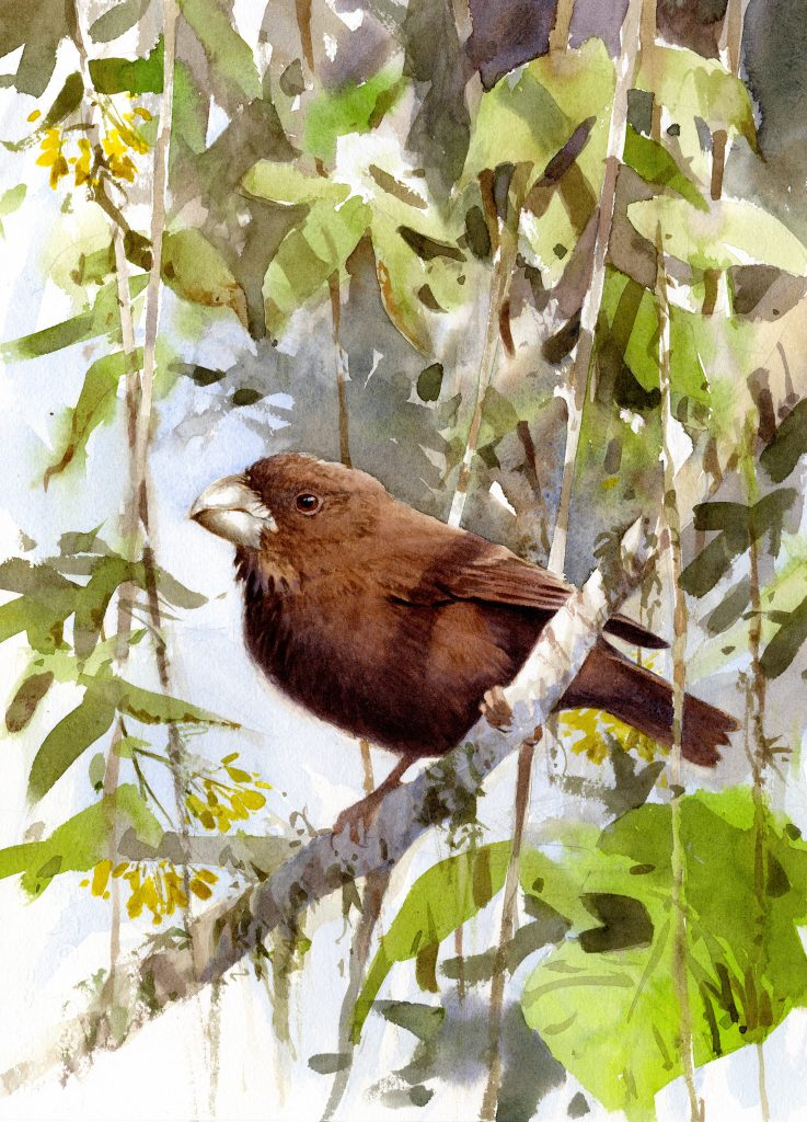 This beautiful water color by Peter Nilsson (http://www.peter-nilsson.com) adorns my living room wall. May I introduce the São Tomé giant seedeater (Crithagra concolor)?